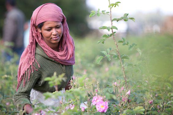 essential rose oil from Ethiopia, raw-material project run by WALA Heilmittel GmbH; ätherisches Rosenöl aus Äthiopien, Rohstoffprojekt der WALA Heilmittel Gm